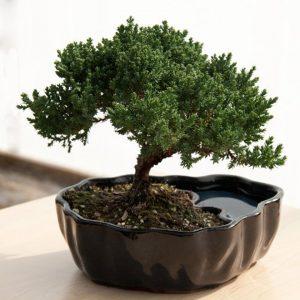 Zen Bonsai Tree